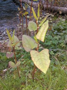 Japanese-knotweed-new-shoot_PhotoDeboragh_Darcy-760x1024